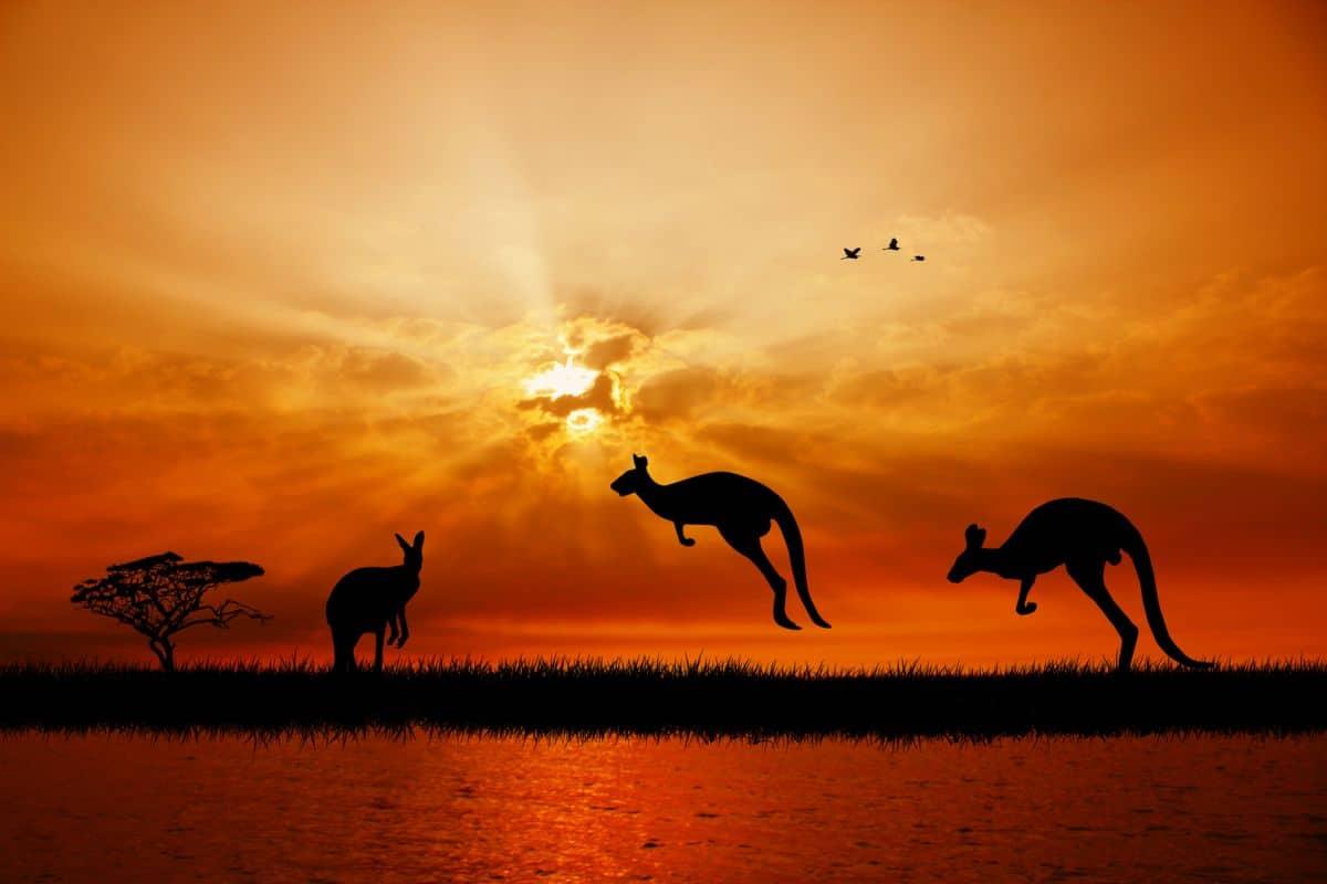 Des kangourous au coucher du soleil en Australie