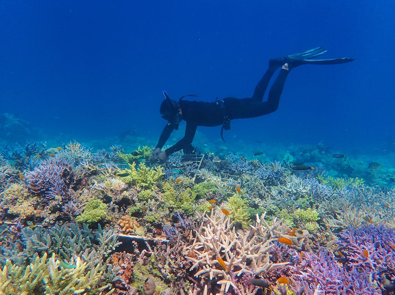 Comment se reproduisent les coraux ?