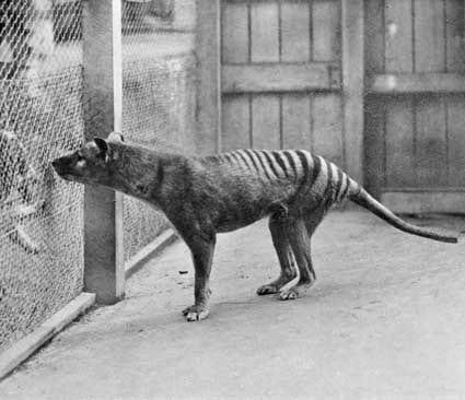 Pourquoi le tigre de Tasmanie a disparu ?
