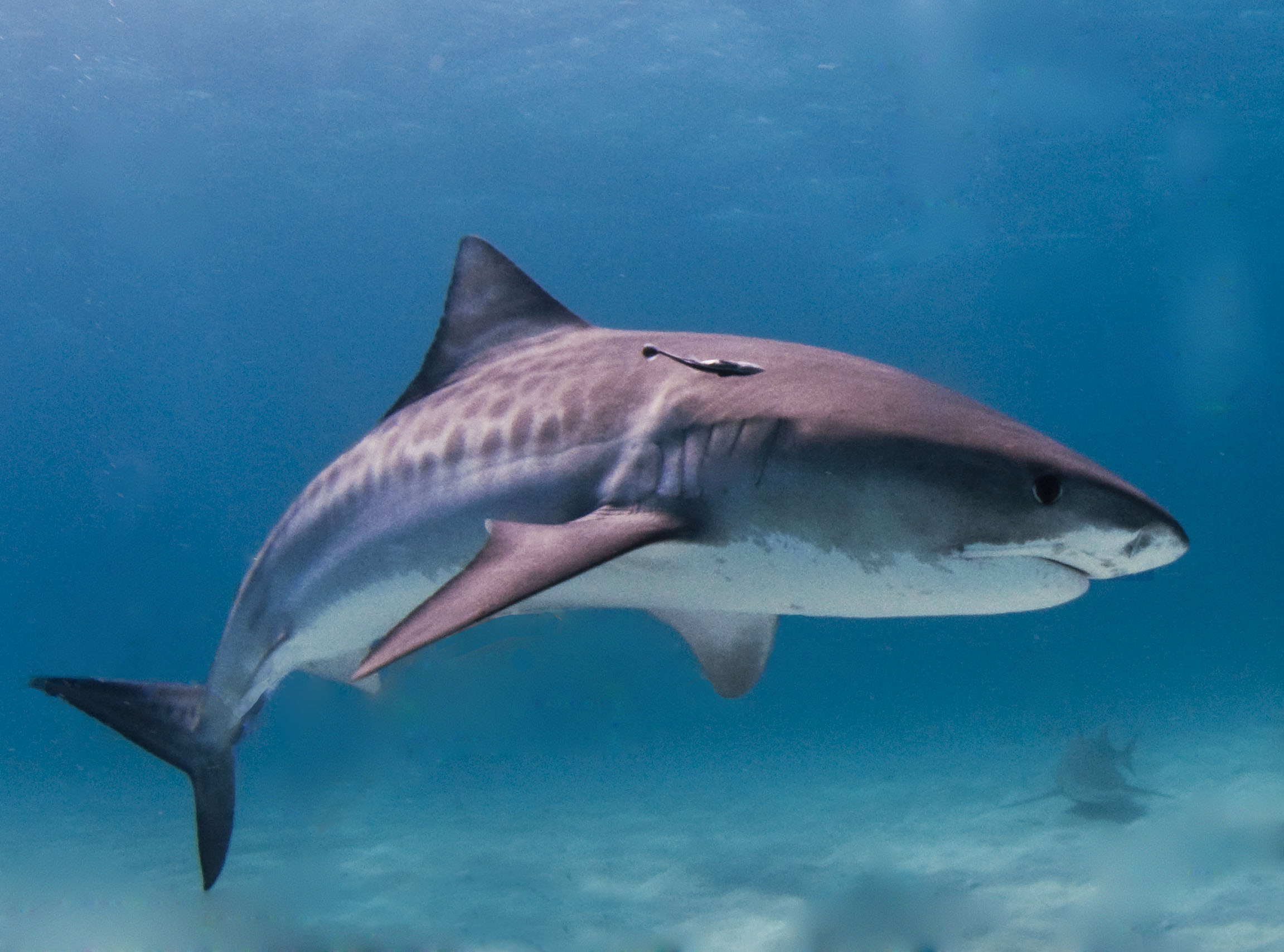 Est-ce que ça existe des requins ?